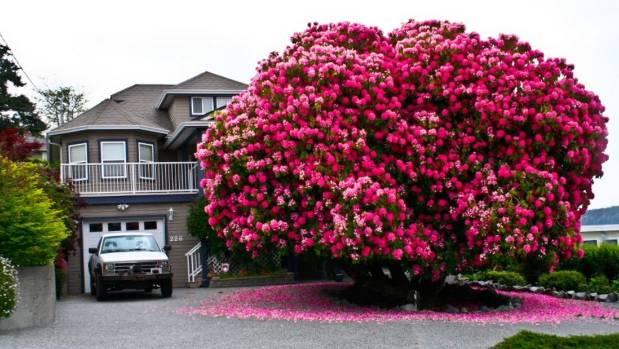 Đi chơi Canada nhớ ngắm cây hoa đỗ quyên 115 năm tuổi - Ảnh 1.
