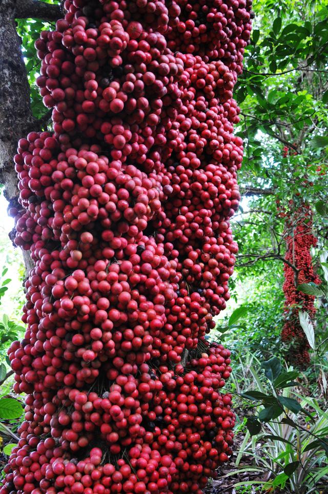 Đi Phú Yên ngắm vườn cây đỏ, ăn trái đỏ chua lè lưỡi - Ảnh 1.