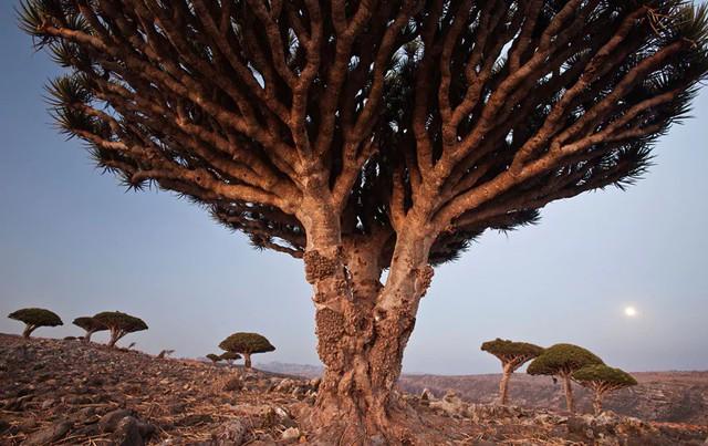 10. Những cây máu rồng trên đảo Socotra (Yemen) có hình dạng giống như những chiếc ô khổng lồ và nhựa đỏ như máu. Đây là một trong những loài thực vật độc đáo nhất trên hành tinh.