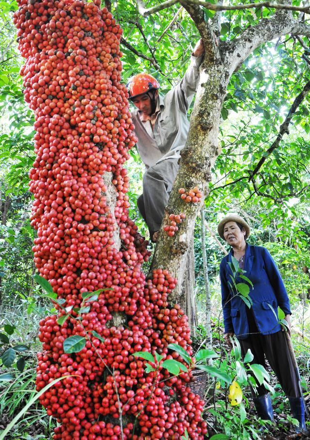 Đi Phú Yên ngắm vườn cây đỏ, ăn trái đỏ chua lè lưỡi - Ảnh 4.