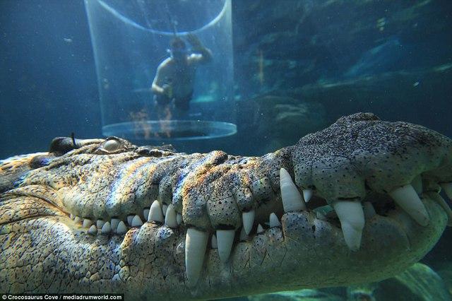 Bơi trong bể cùng cá sấu, bạn dám không? - Ảnh 1.