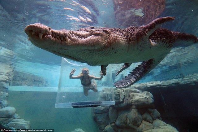 Bơi trong bể cùng cá sấu, bạn dám không? - Ảnh 2.