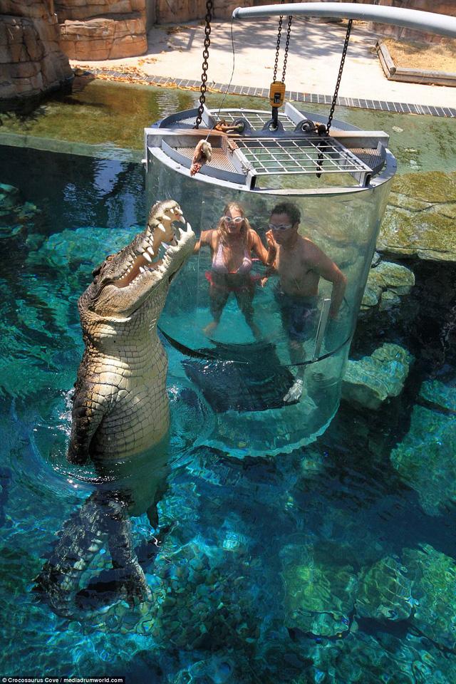 Bơi trong bể cùng cá sấu, bạn dám không? - Ảnh 3.