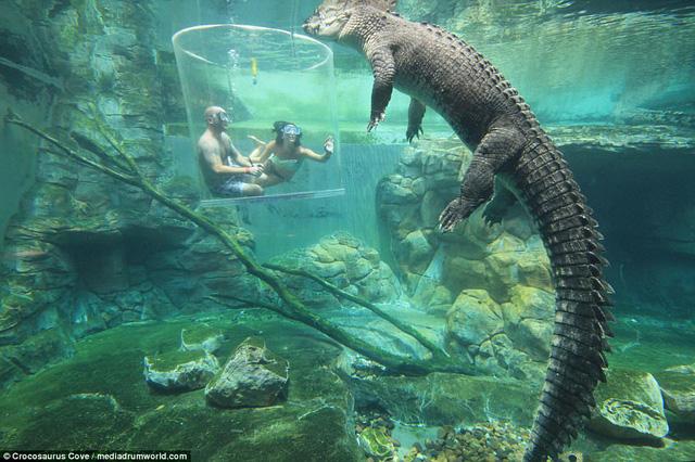 Bơi trong bể cùng cá sấu, bạn dám không? - Ảnh 4.