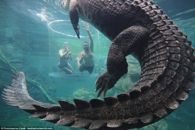 Bơi trong bể cùng cá sấu, bạn dám không? - Ảnh 6.