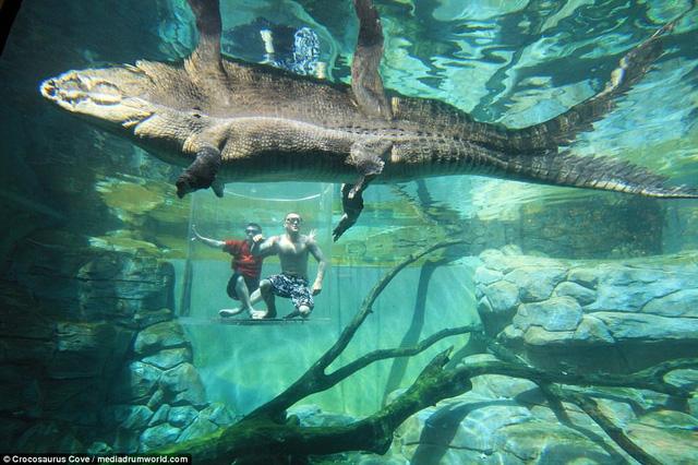 Bơi trong bể cùng cá sấu, bạn dám không? - Ảnh 7.