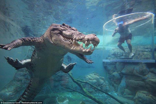 Bơi trong bể cùng cá sấu, bạn dám không? - Ảnh 8.
