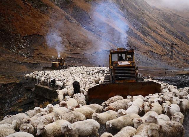 Hành trình vượt đèo tử thần của những đàn ông gan dạ và đàn cừu khổng lồ - Ảnh 5.