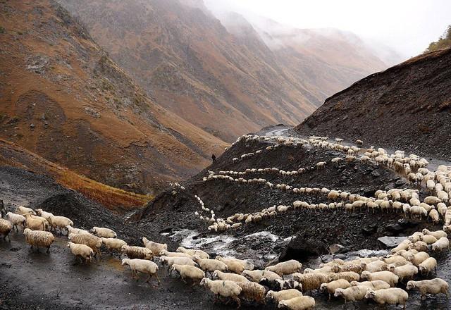 Hành trình vượt đèo tử thần của những đàn ông gan dạ và đàn cừu khổng lồ - Ảnh 9.
