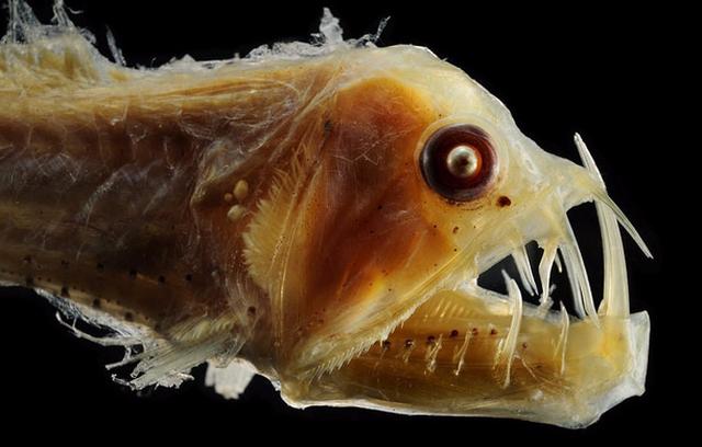 Những 'quái thú' dưới lòng đại dương - Ảnh 13.