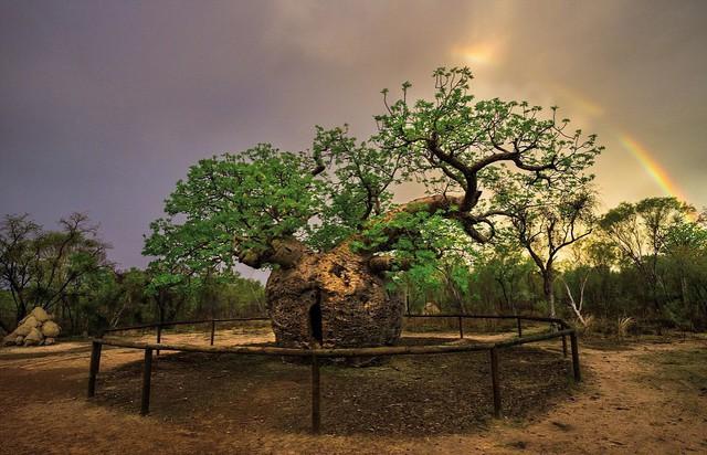Ngắm những thân cây độc lạ trên thế giới