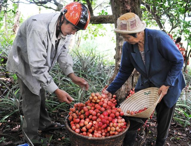 Đi Phú Yên ngắm vườn cây đỏ, ăn trái đỏ chua lè lưỡi - Ảnh 5.