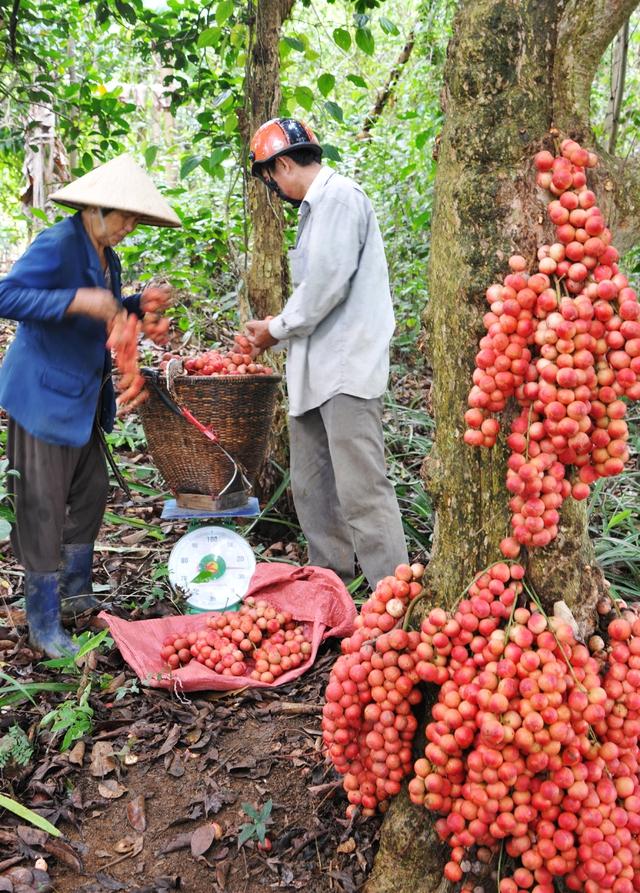 Đi Phú Yên ngắm vườn cây đỏ, ăn trái đỏ chua lè lưỡi - Ảnh 6.