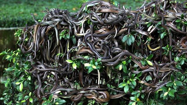 Rùng mình trước đảo rắn độc nhất thế giới ở Brazil - Ảnh 1.