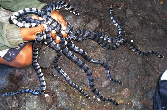 Rùng mình trước đảo rắn độc nhất thế giới ở Brazil - Ảnh 2.