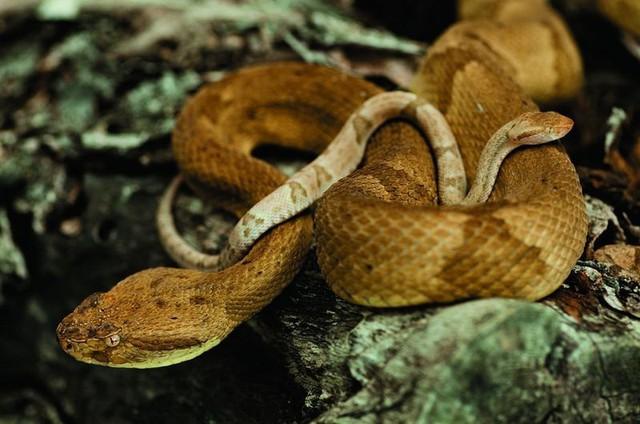 Rùng mình trước đảo rắn độc nhất thế giới ở Brazil - Ảnh 3.