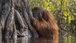 Ảnh thiên nhiên đẹp nhất 2017: đười ươi e ấp sau cây