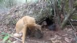 Đưa vào hoạt động khu bảo tồn chó xoáy thứ hai tại Phú Quốc
