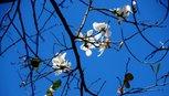 Đà Lạt hoa ban trắng bung nở giữa trời xuân