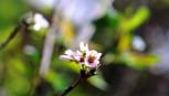 Trồng thành công giống hoa đào đẹp nhất tại Đà Lạt