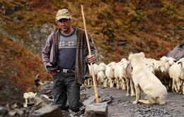 Hành trình vượt đèo tử thần của những đàn ông gan dạ và đàn cừu khổng lồ