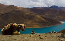 Nếu bạn từng 'lên voi xuống chó', sẽ thấy nhân tình thế thái vô thường ở Tây Tạng