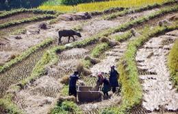 Gặt mùa vàng ở Mù Căng Chải