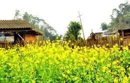 Rong ruổi mùa hoa cải vàng Tây Bắc