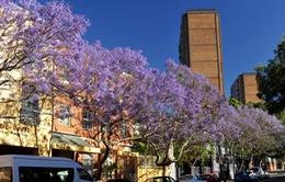 Sydney mùa phượng tím