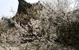 Mùa hoa đào Hàn Quốc đã bắt đầu như vậy...