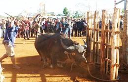 Du khách không còn thấy đâm trâu trong lễ hội Lâm Đồng