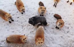 Thăm ngôi làng đầy cáo ở Nhật Bản