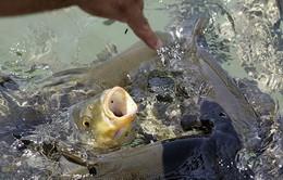 Khách Nga bị bắt ở Thái Lan vì... cho cá ăn bánh mì
