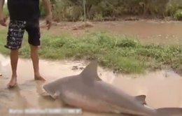 Bão cuốn cá mập dài 1,5m lên bờ ở Úc