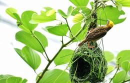 Góc ảnh lữ hành:Kiệt tác xây tổ của chim dòng dọc